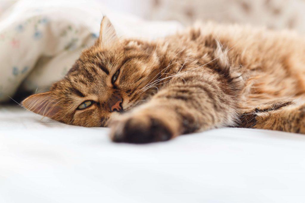 Chat couché et souffrant de la fièvre causée par l'infection urinaire
