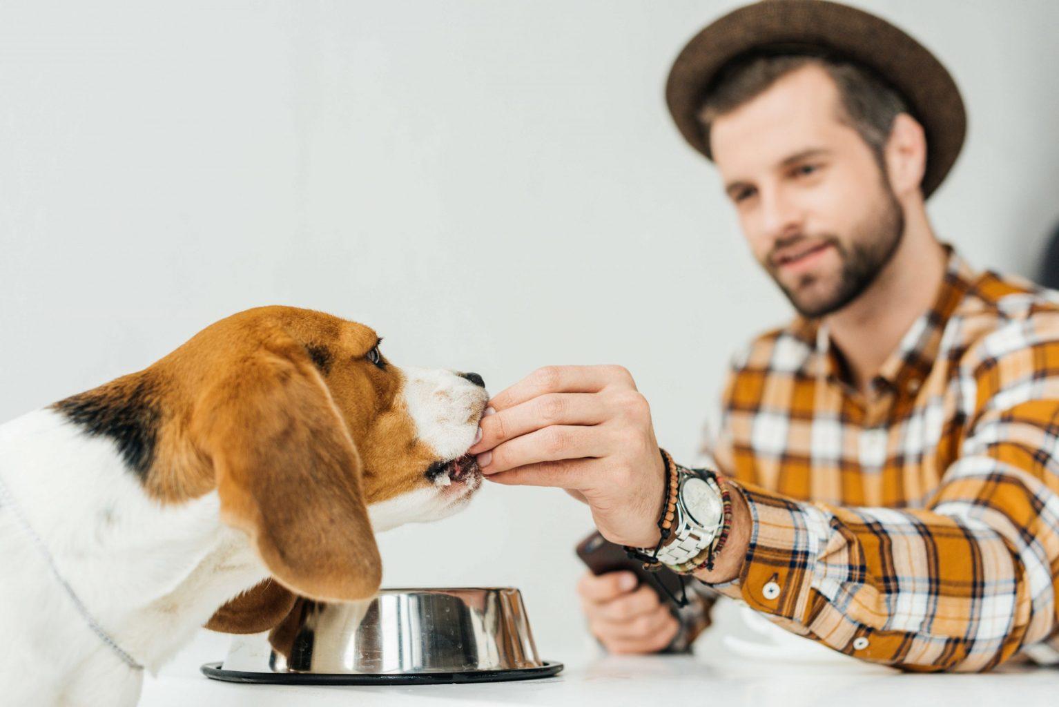 Homme nourrissant son beagle avec de la nourriture idéale pour sa santé