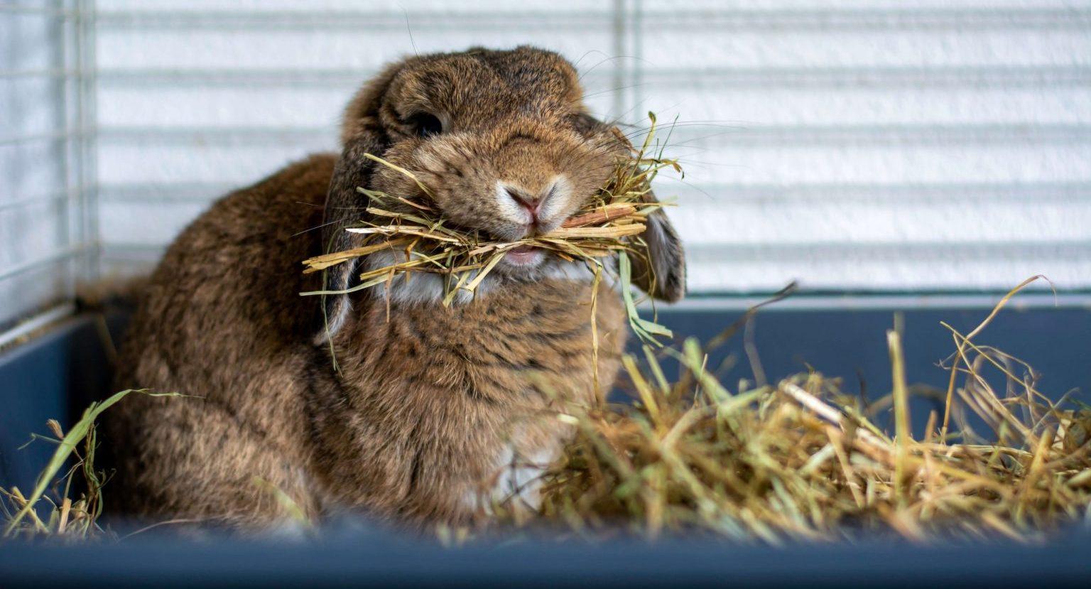 Le lapin savourant son foin constituant 80% de son alimentation