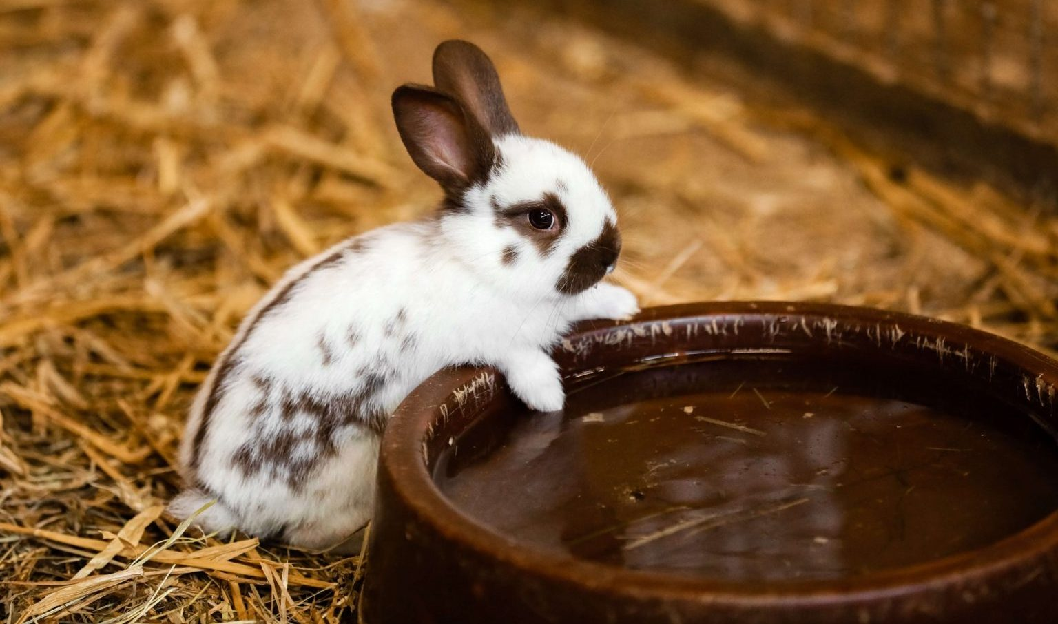 Le petit lapin blanc sur le foin essaye d'atteindre son grand bol d'eau fraîche
