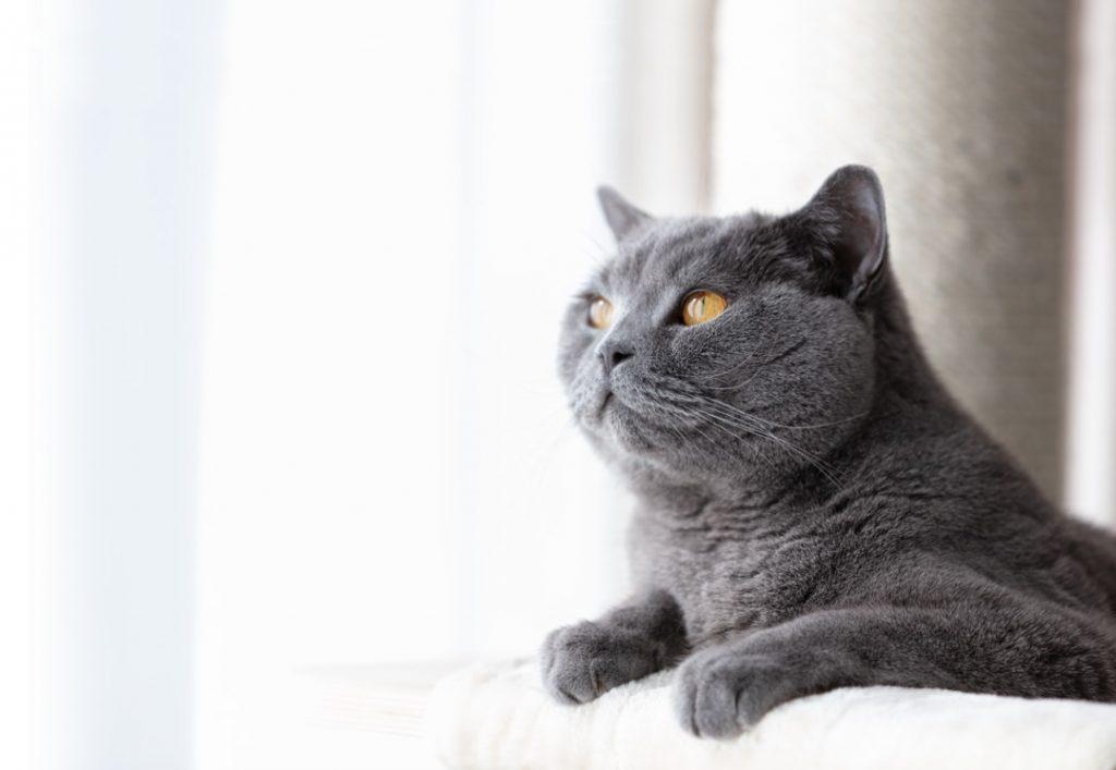 Plan rapproché d'un chat gris domestique couché sur son arbre à chat regardant vers le haut