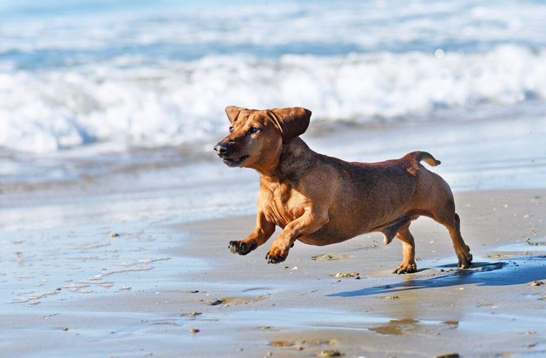 Un chien de race Teckel courrant sur une plage
