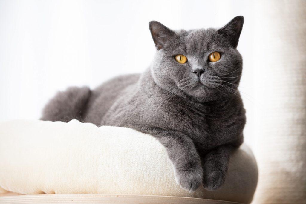 Un chat gris domestique couché sur son arbre à chat regardant vers nous