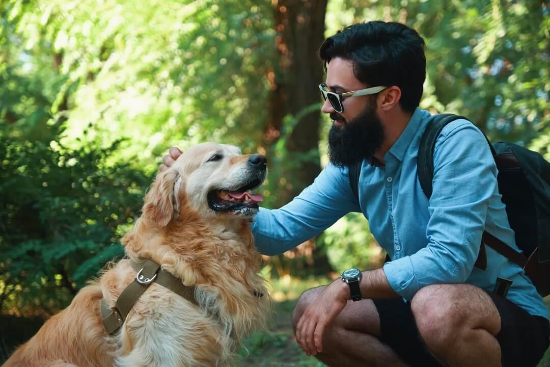 Maître carressant son chien Golden Retriever incluant son harnais attaché en nature