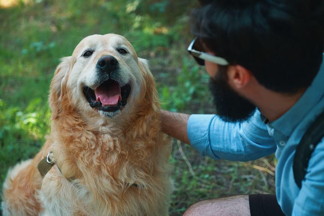 Maître félicitant son chien Golden Retriever en le flattant pour son exercice de Canicross