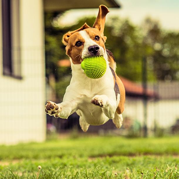 Un beagle courant avec une balle dans la gueule