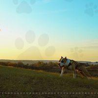 Tout sur LE CANICROSS incluant une maîtresse pratiquant l'activité avec son chien dans les prairies