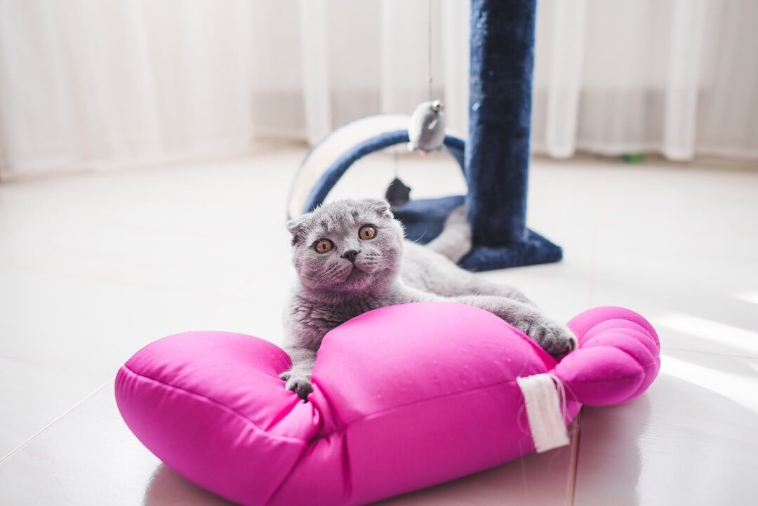 Chat avec ses griffes sorties sur son oreiller est prêt à jouer