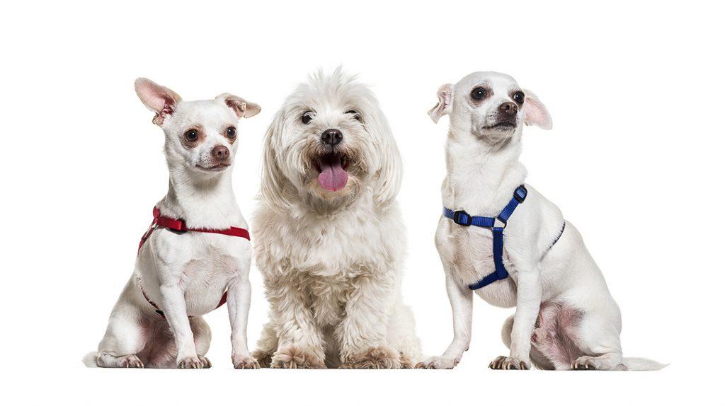 trois petits chiens blanc avec des harnais