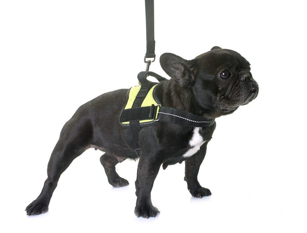 petit bulldog francaiss avec son harnais