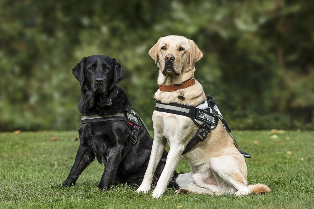 deux chien Labrador dans des harnais d'apprentissage