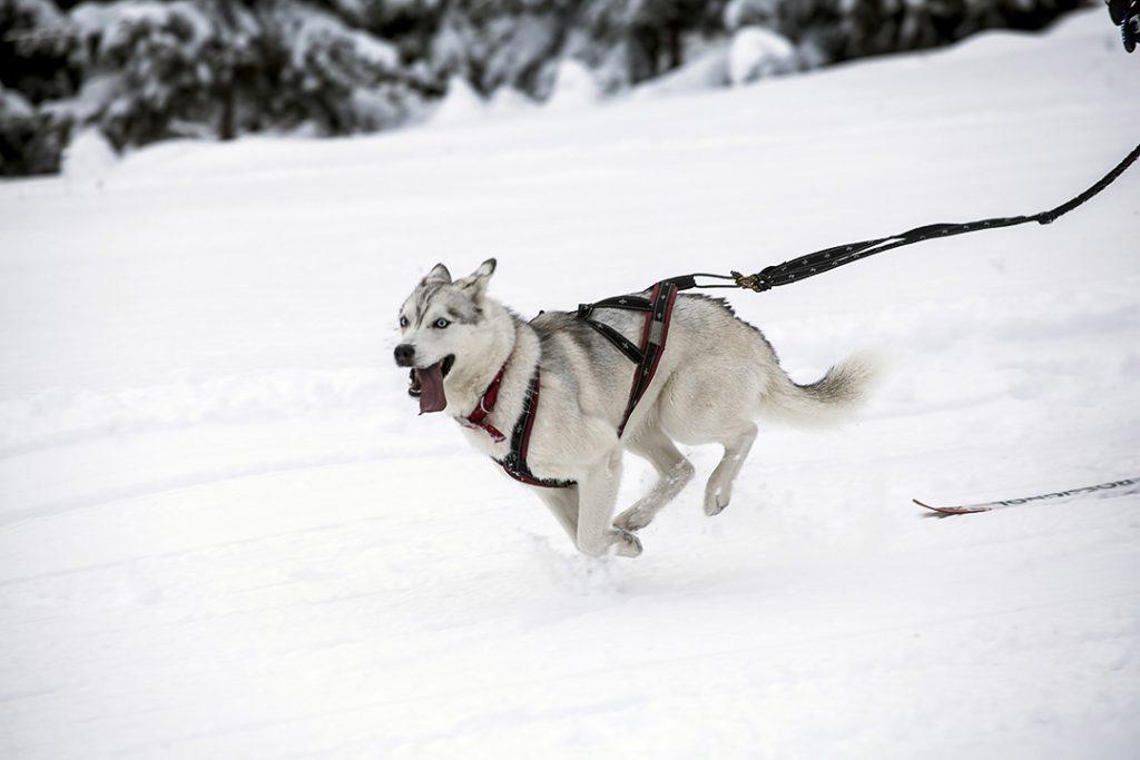 un chien husky dans un harnais en plein course